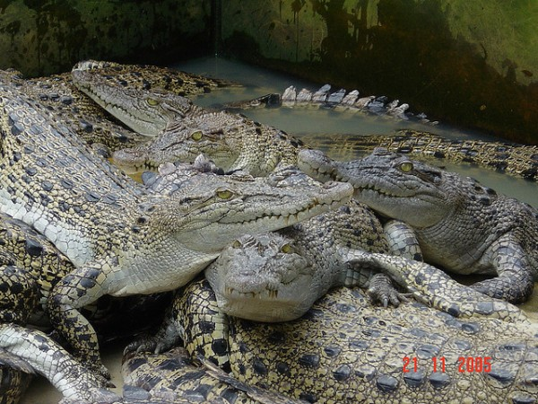 Crocodile Farm in North Sumatra