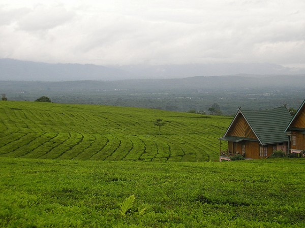 Tea plantation near the Dempo Mountain