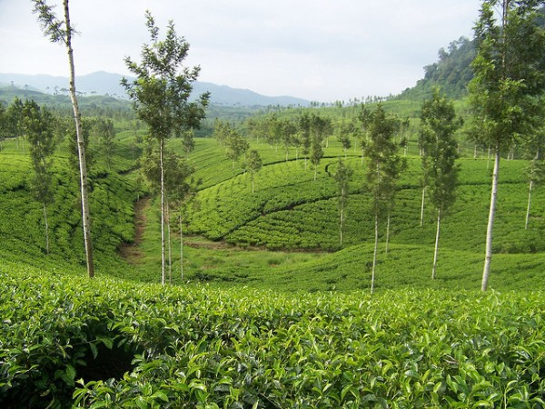 Tea plantation in central Java
