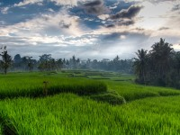 Rice terraces in Ubud, Bali